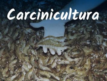 Carcinicultura - entenda o mercado da criação de camarões